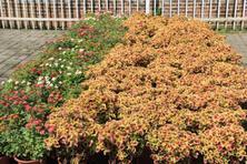 彩叶地被植物,看这一篇就够了!