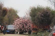 """進擊中的夏溪春季苗市——近日各大類別的苗木正在上演怎樣的""""戲碼"""",該如何應對?"""