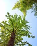 国际树木学会选购苗木标准——一套客观公正的树木规格标准建议