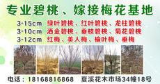 168苗木场(碧桃+梅花)基地直营图片