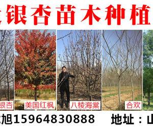 旭发银杏苗木种植基地