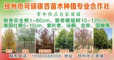 邳州市可硕银杏种植专业合作社图片