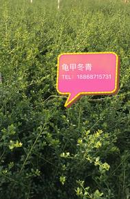 龟甲冬青图片