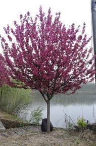 北美海棠图片