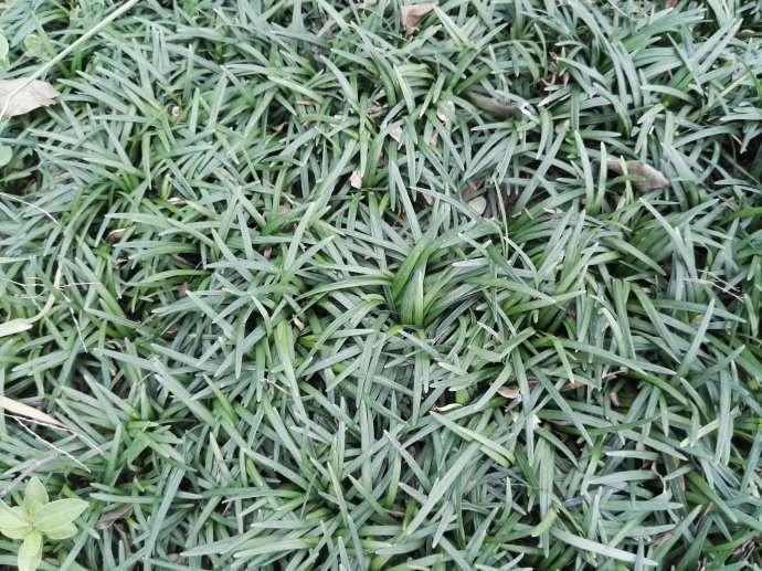 矮麦冬草图片