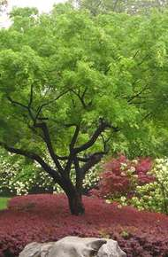 鸡爪槭图片