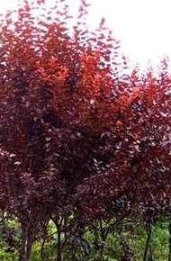 红叶李图片