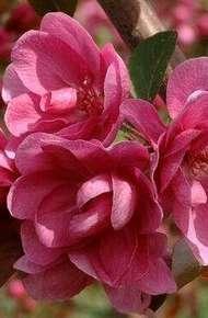 北美海棠圖片