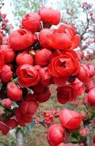 红宝石海棠图片