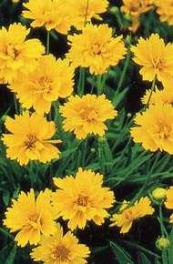 金鸡菊图片