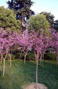 加拿大紫荆图片