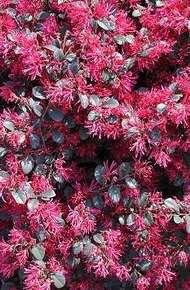 红花檵木图片