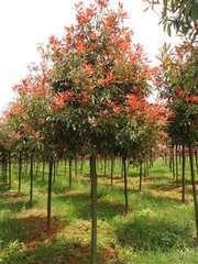 红叶石楠图片