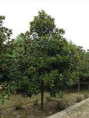 广玉兰图片