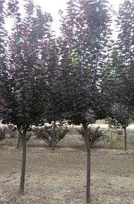 紫葉李圖片