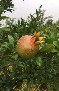 果石榴圖片