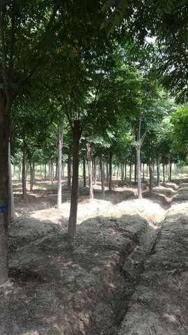 黄山栾树图片