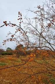 湖北海棠图片